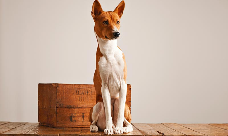 Razas de perros para alérgicos: basenji
