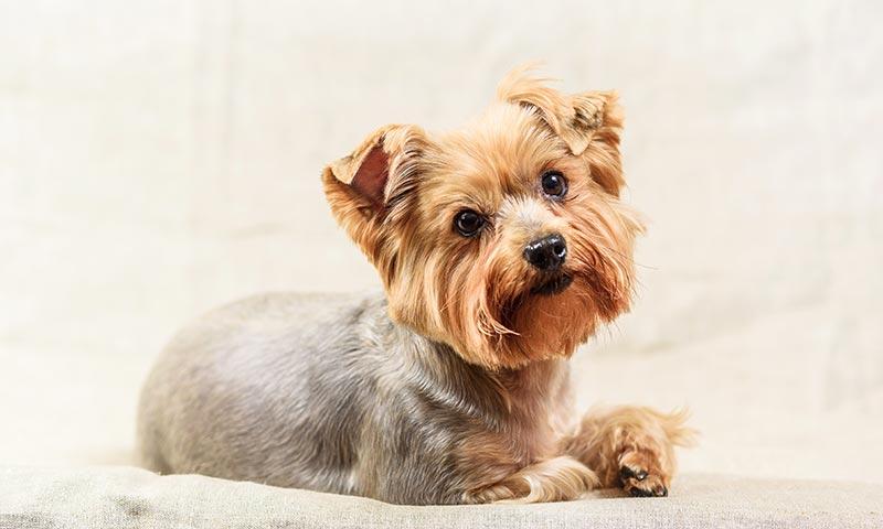 Perros para personas con alergia: yorkshire terrier