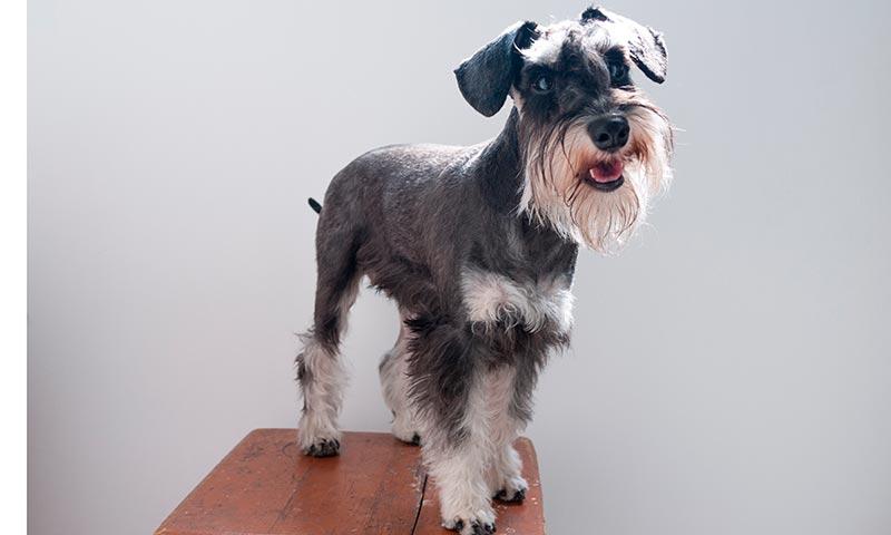 Razas de perros para personas con alergia: schnauzer