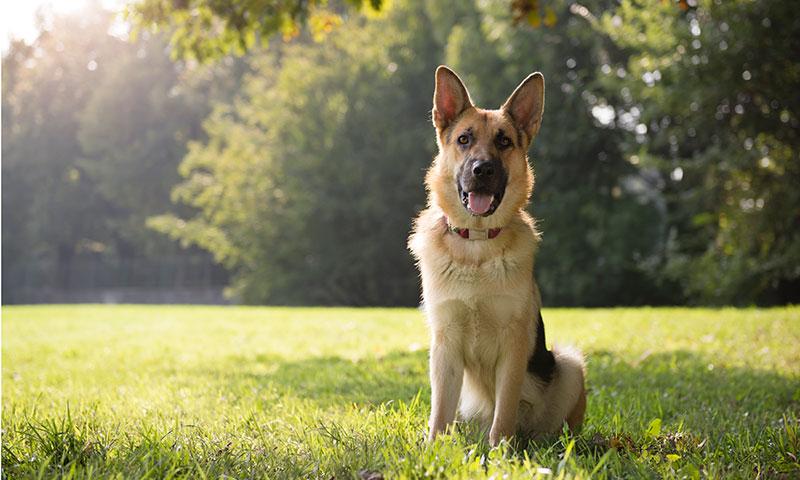 Oliver, un perro guía ciego, que ha recuperado la vista gracias a una intervención revolucionaria