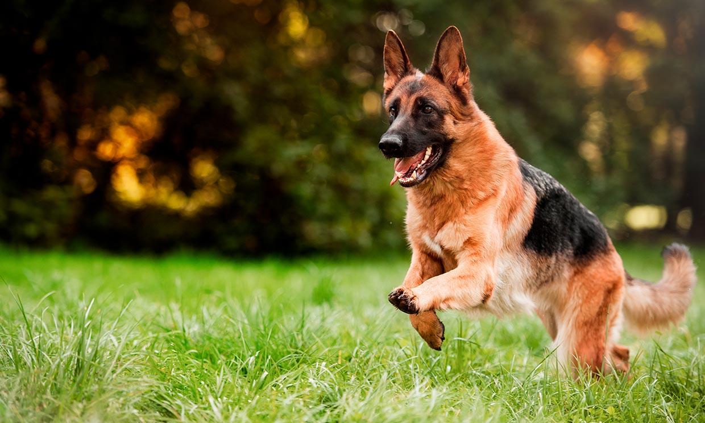 Estas son las mejores razas de perro para defensa personal