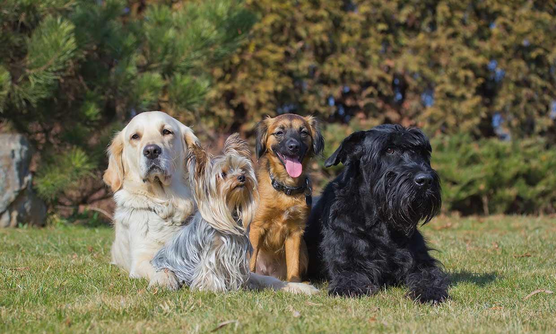 Las razas de perro más populares dependiendo de cada país