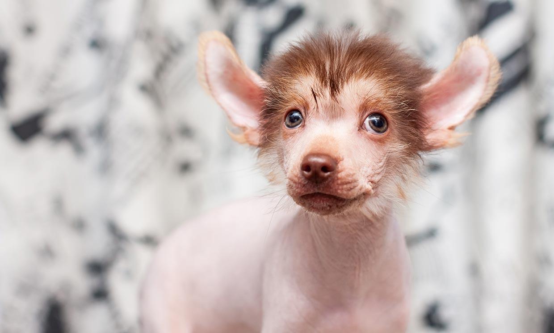 Las razas de perro más raras o menos conocidas