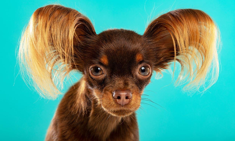 Razas de perros pequeños que no son tan ideales para niños