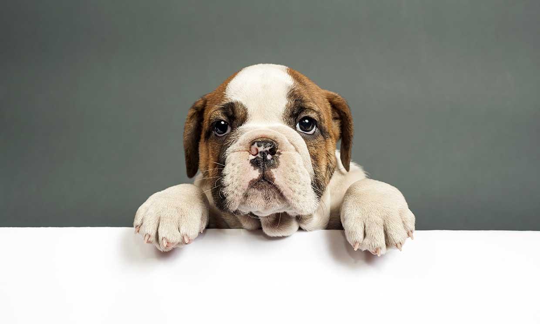 Perros braquicéfalos y sus problemas respiratorios