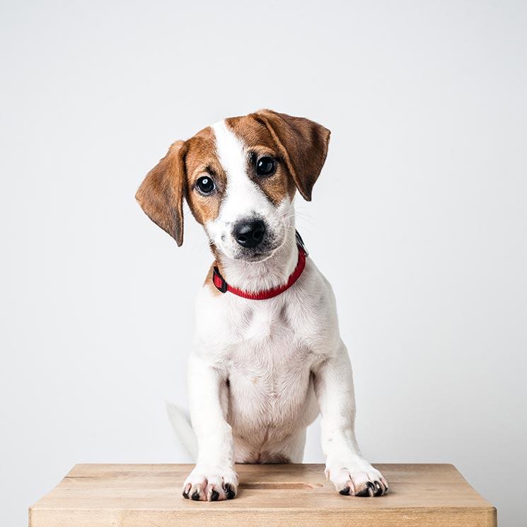Razas De Perros Pequeños Que Parecen Grandes Foto