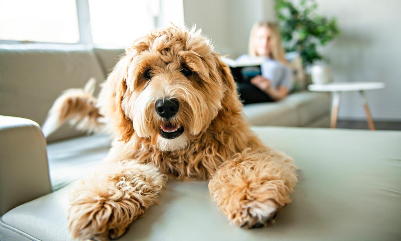 Las mejores razas de perros para principiantes (y no todos son de raza pequeña)