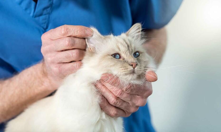 Cómo Detectar La Otitis En Los Gatos