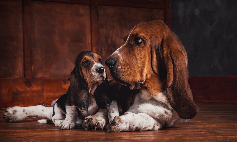 Razas de perro con orejas largas: ¿cómo evitar infecciones?