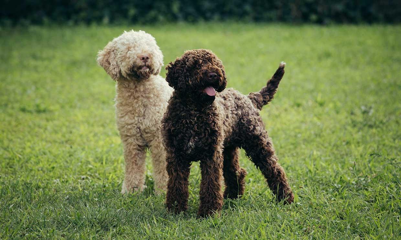 Razas de perros tan raros que ni te imaginas que existen