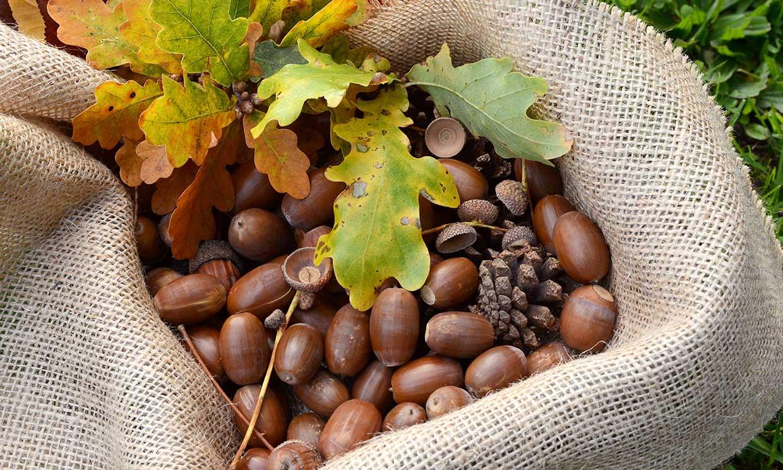 La bellota: el renacer de un alimento con increíbles propiedades