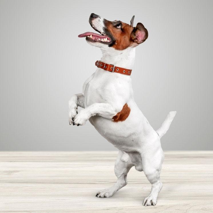 Razas de perro pequeños: el jack russell, adorable y muy enérgico - Foto 1