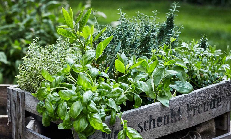 Este verano ten a mano estas plantas aromáticas eficaces como repelentes de insectos