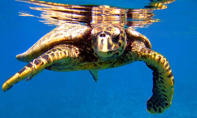 Tortugas marinas: El preocupante presente de un animal fundamental en la fauna marina