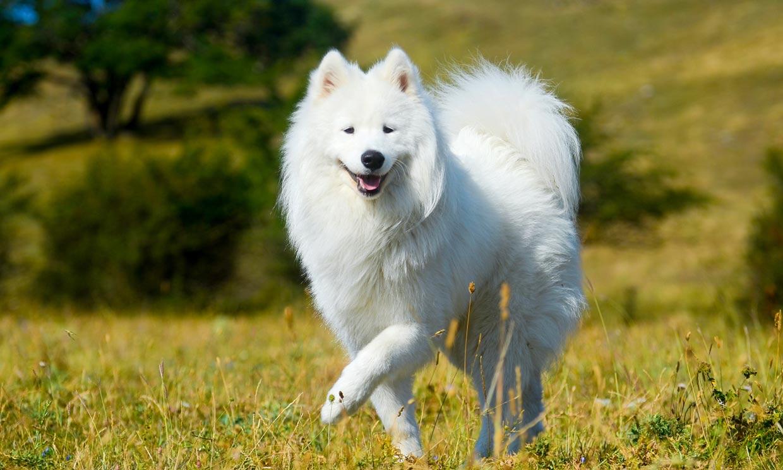 Así es el samoyedo, un compañero fiel de elegante pelaje blanco