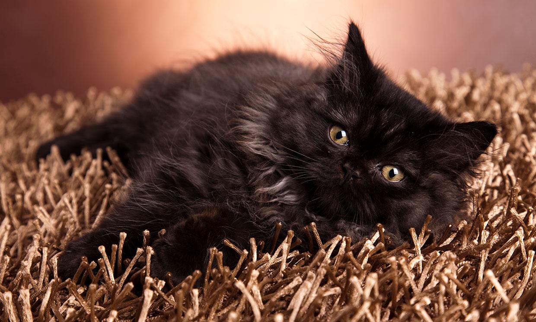 Del Sphynks al Scottish Fold, estas son las razas de gatos más famosas en la Red