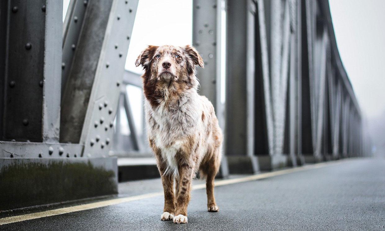 Las razas de perro con mejor salud, según el educador canino César Millán
