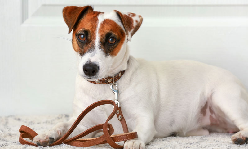 jack-russell
