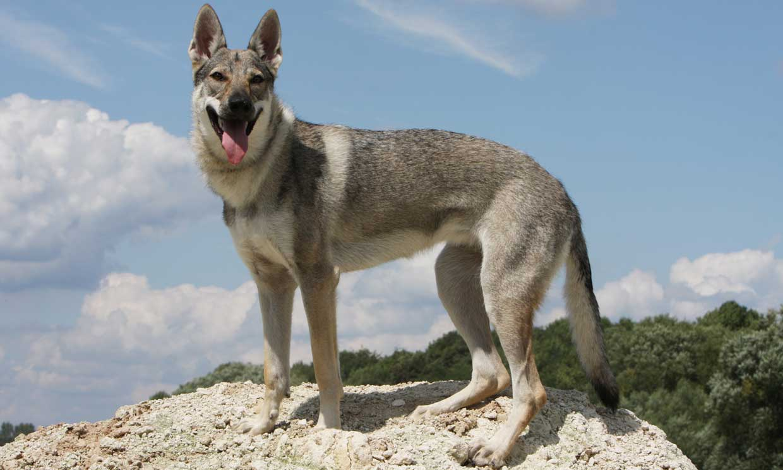 Perro lobo checoslovaco, un can de moda no apto para principiantes