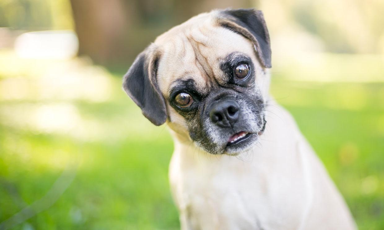 10 razas de perro híbridas ¿Reconoces estos cruces?
