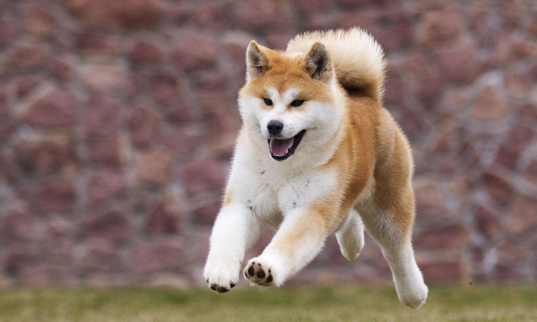 Hachiko: la conmovedora historia de un perro akita