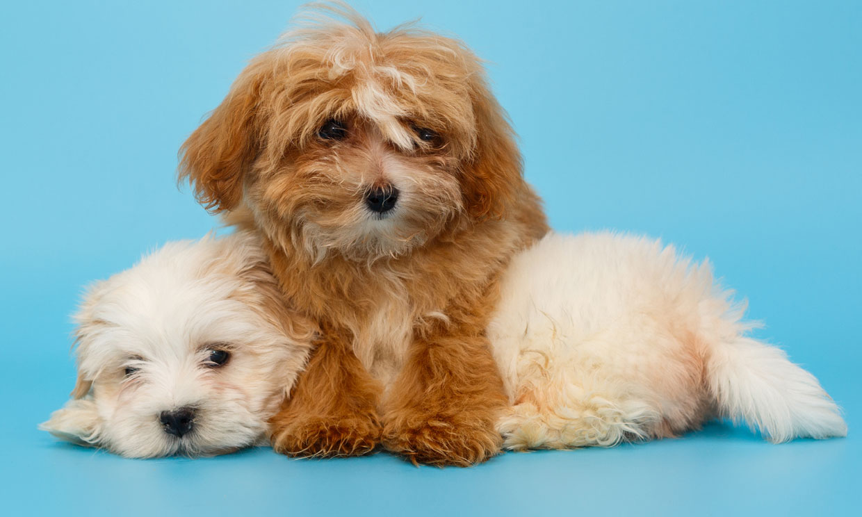 Conoce al perro maltipoo: la nueva raza de perro creada para enamorar