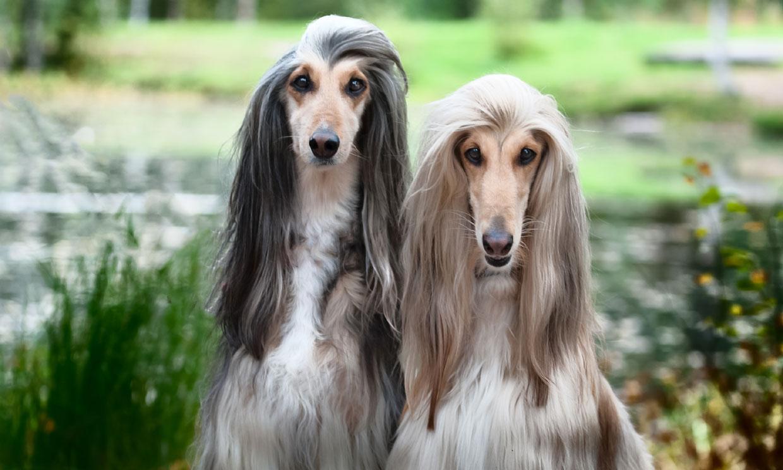 Galgo afgano, uno de los perros más elegantes y más parecido a un gato