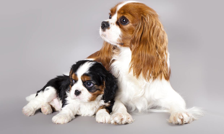 Cavalier King Charles Spaniel: un perro ideal para vivir con niños y personas mayores