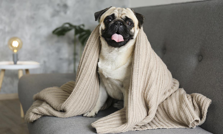 ¿Cuáles son las razas de perro más perezosas?