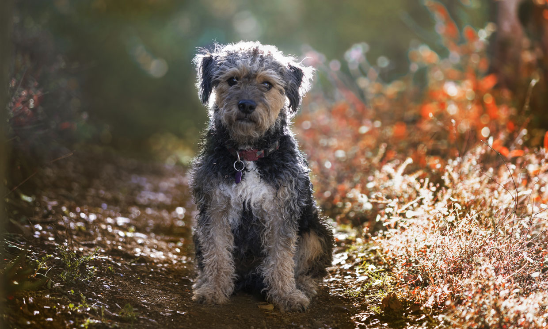 Yorkie poo, un perro 'de bolsillo' ideal para principiantes y alérgicos