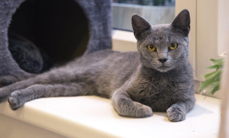 Gato azul ruso, una de las razas de felino más antiguas y populares