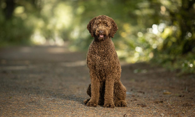 Perro labradoodle: para muchos, una raza de perro perfecta