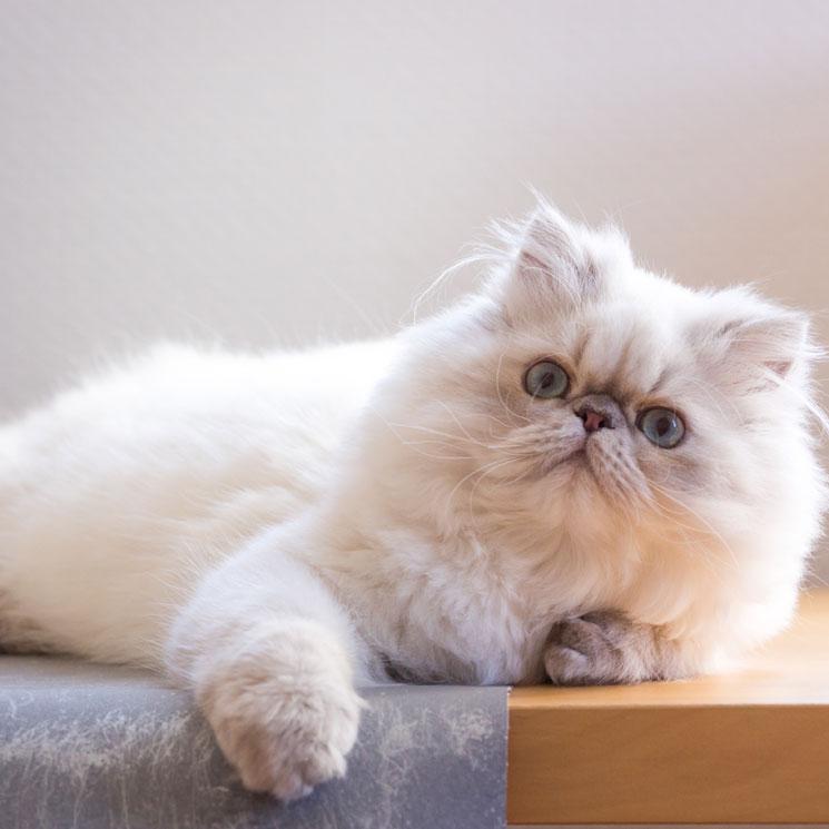 Apariencia de la raza de gato persa