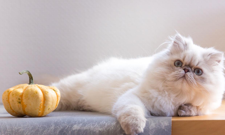 Gato persa: características de una de las razas de gatos más cariñosas y bellas
