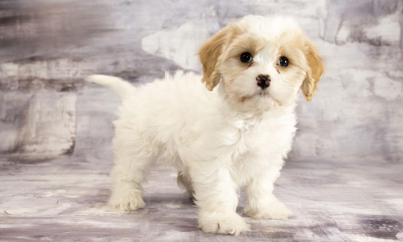 Perro cavachón: otra raza de perro 'de diseño' de pequeño tamaño