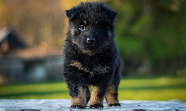 ¿Conoces al perro chodsky? Es una raza desconocida pero muy dócil y obediente