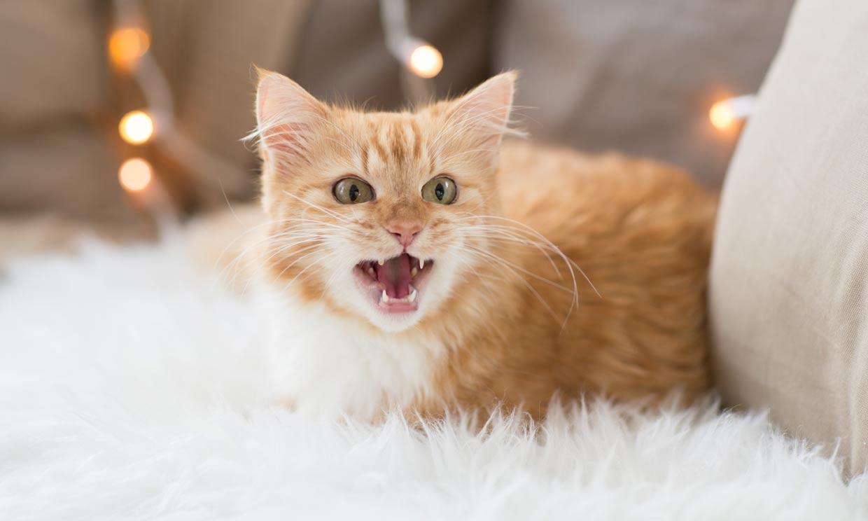 ¿Por qué razones maúlla tanto mi gato?