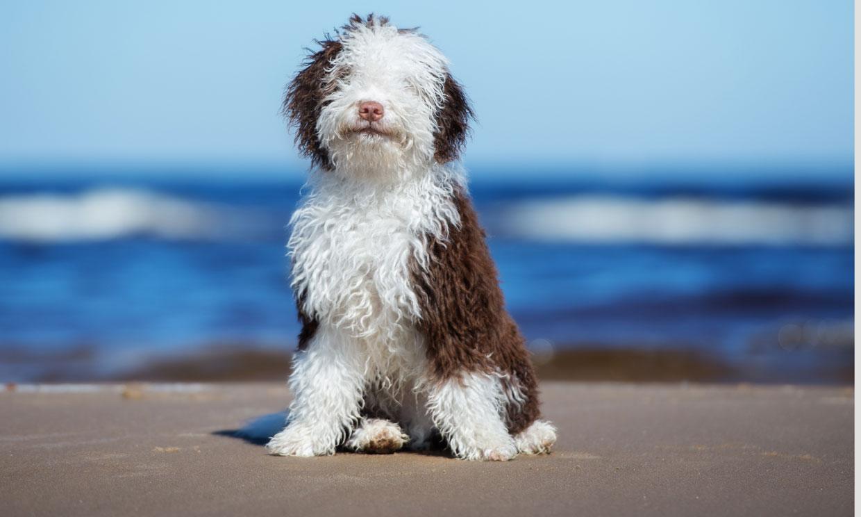 Estas son algunas de las 33 razas de perro españolas autóctonas
