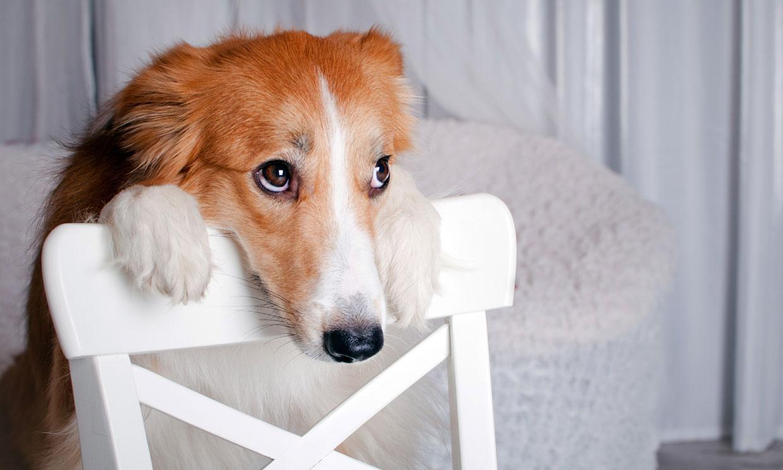 ¿Cómo saber si mi perro tiene dolor en las articulaciones y qué hacer?