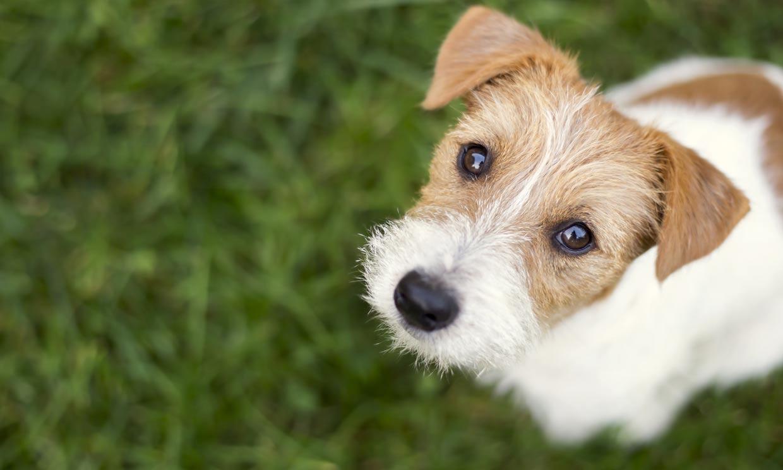 ¿Sabes por qué tu perro te mira fijamente a los ojos?