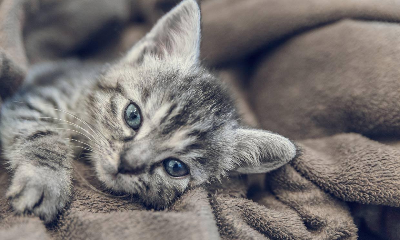 ¿Qué significa que mi gato me amase?