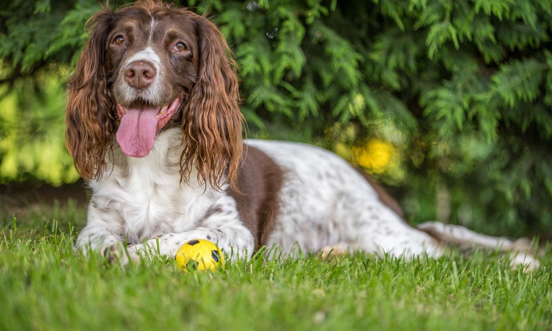 Springer spaniel, un perro lleno de energía y muy inteligente