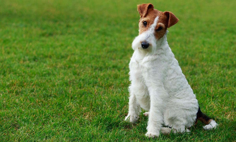 Fox terrier de pelo duro, un perro muy activo, siempre listo para la acción