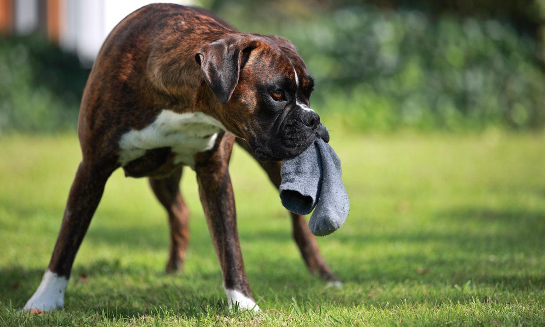 ¿Qué tengo que hacer si mi perro se come un calcetín?