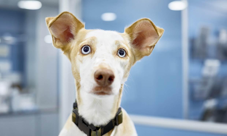 'Machismo' en perros: ¿comportamiento normal o problemas de conducta?