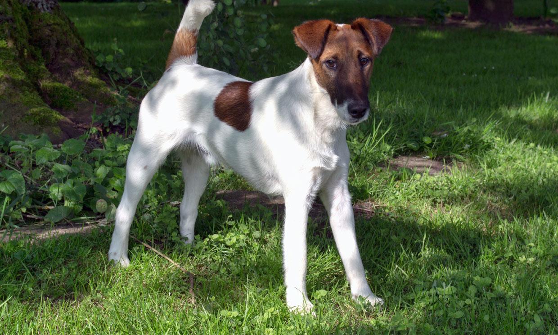 Así es el fox terrier de pelo liso, un perro activo y muy curioso