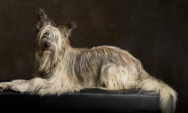 Las razas de perro pastor españolas