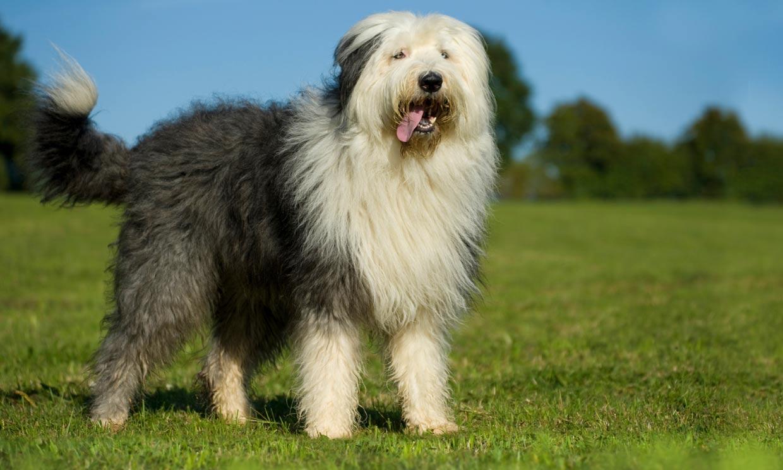 Bobtail, un perro grandullón que disfruta jugando y al que querrás achuchar