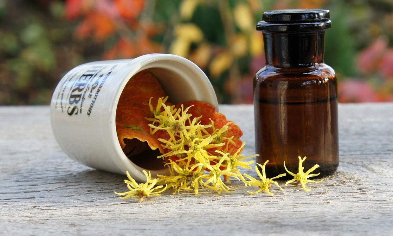 Hamamelis, una planta muy útil si tienes varices o piernas pesadas