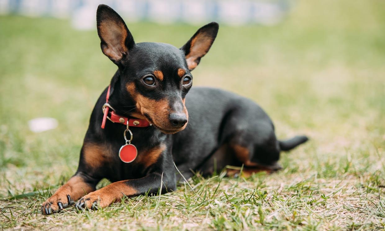 Pinscher miniatura, un perro valiente y muy activo